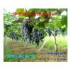 特抗刺葡萄--金枝葡萄种质资源