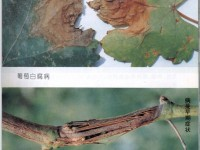 葡萄白腐病的发生规律及其防治