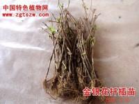 金银花插条育苗及高产措施
