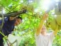 富硒猕猴桃助增收农民走上致富道路