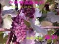 特抗无核化甜葡萄 (5)