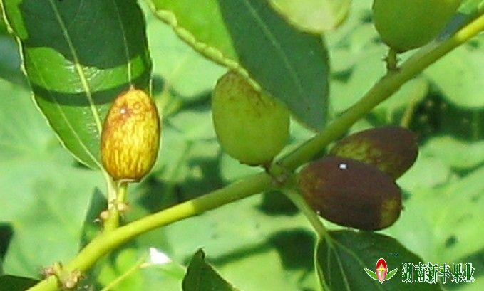 缩果病往往与炭疽病同时发生在一个枣果上或