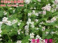 秋荞麦栽培技术(彩图)