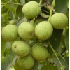 供核桃苗 苹果苗 枣树苗 柿子苗 山楂苗 葡萄苗 钙果苗