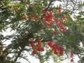 红豆杉(彩图) (1)
