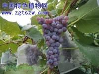 三种不同颜色的刺葡萄