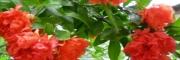 牡丹花石榴树