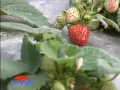 玉溪市红塔区添晨水果种植专业合作社葡萄草莓间作 (282播放)