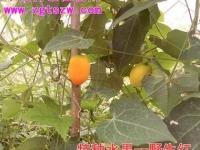 中国特色植物网成功引种野生红(彩照)