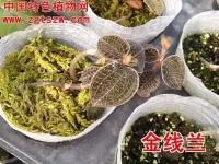 金线莲栽培技术