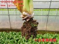 小白菜菌核病