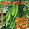 四棱豆种子批发 四角豆 扬桃豆 翼豆